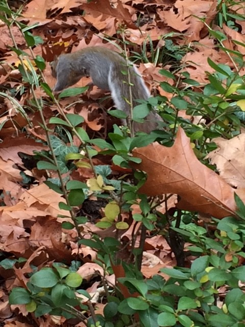 squirrel hopping into leaves by YWCA in lancaster